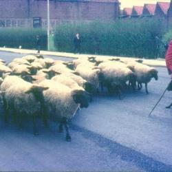 De herder loopt met zijn schapenkudde mee in de Canteclaerstoet
