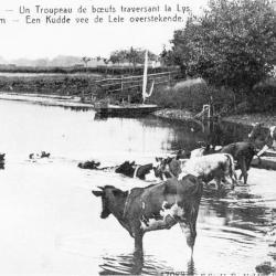 Koeien zwemmen in de Leie, Sint-Martens-Latem