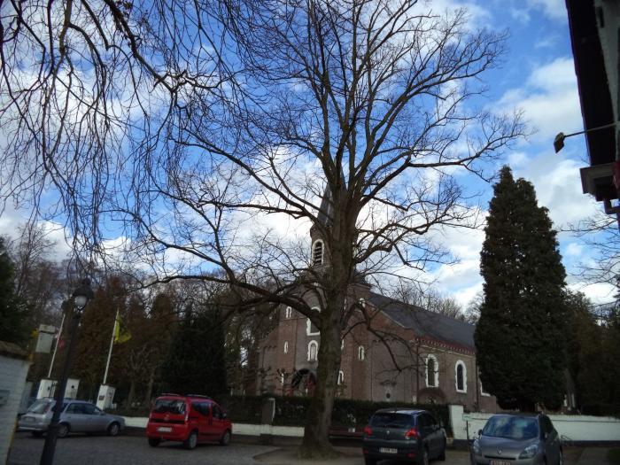 Vrijheidsbomen in de dorpskom van Deurle