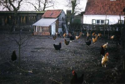 Loslopende kippen op het erf