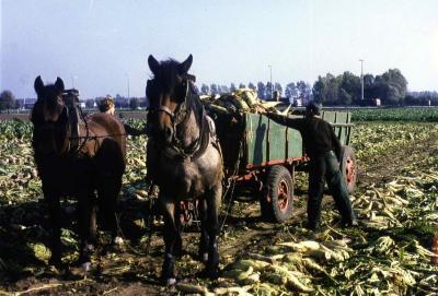 Bieten rooien aan de Boeregemstraat te Zevergem