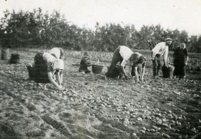 Oprapen van gerooide aardappelen