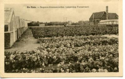 Begonia's in de Florastraat