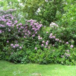 Rododendrons in het park van huis Meheus