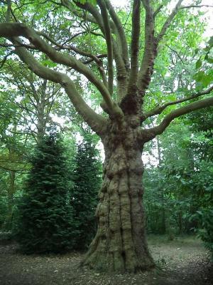 Oude tulpenboom in het park Meheus