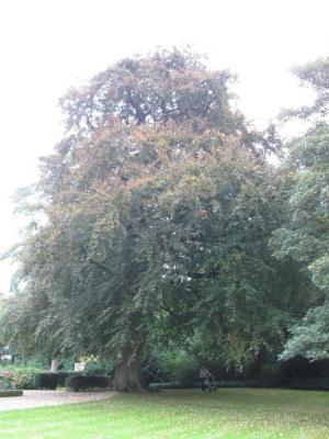 Imposante beuk in de tuin van villa Zonneschijn