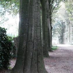 De bomen van de Rode Beukendreef
