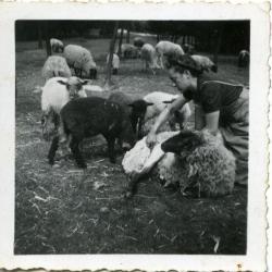 Alma Gevaert scheert de schapen