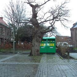 Oude kastanjeboom op het kerkplein van Wontergem