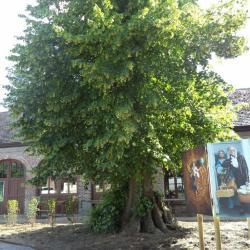 Oude linde aan erekoer van het kasteel Borgwal